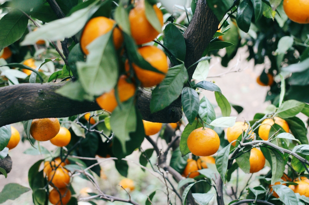 walks and wonder-analogue tangerine field jeju-004
