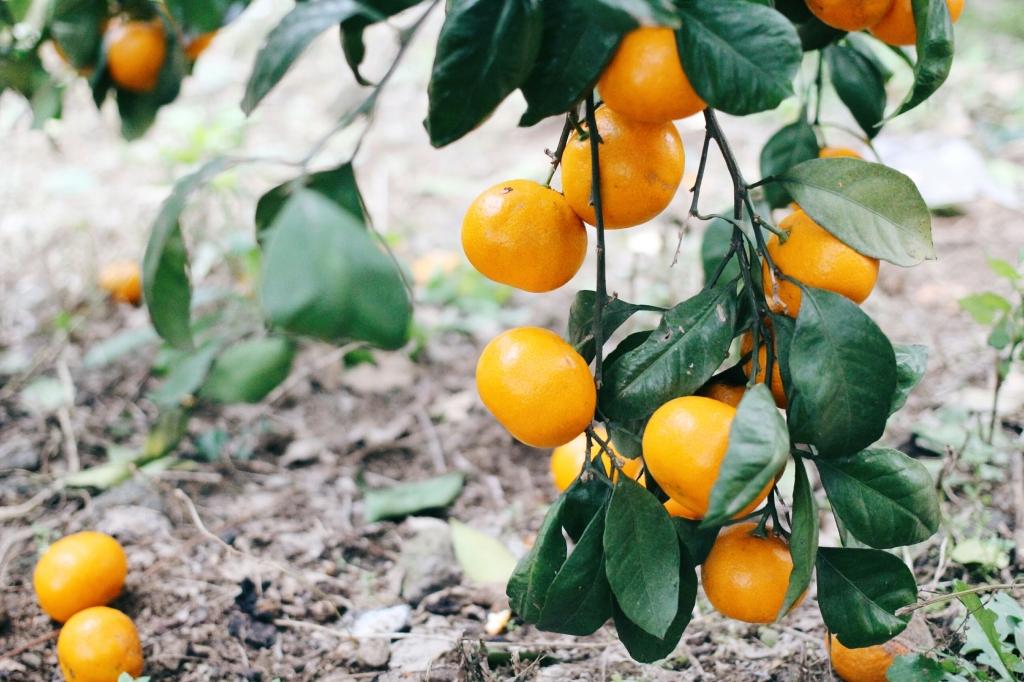 walks and wonder-analogue tangerine field jeju-005