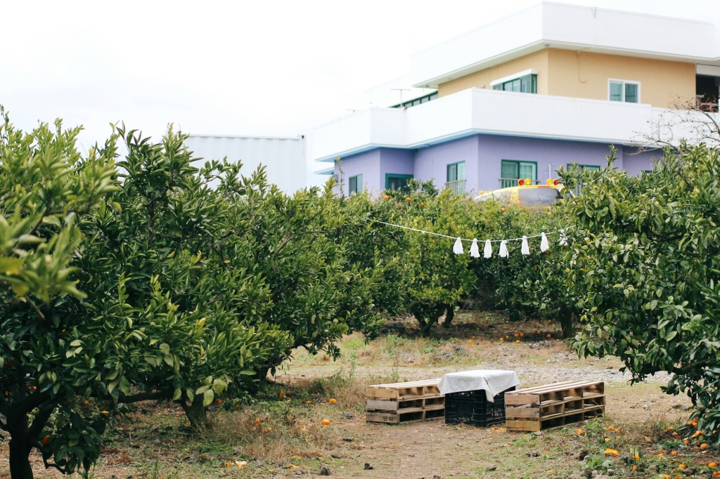 walks and wonder-analogue tangerine field jeju-007
