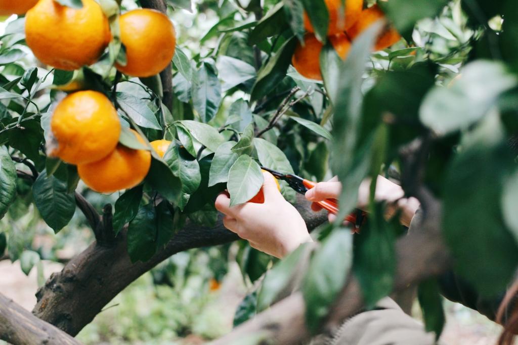 walks and wonder-analogue tangerine field jeju-008