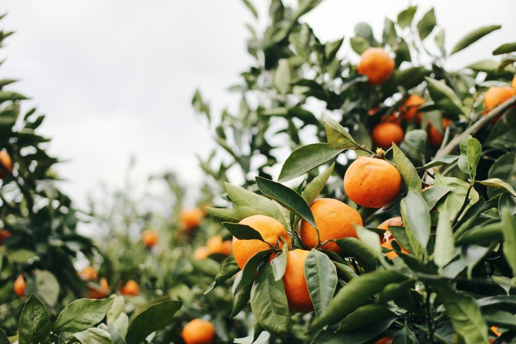 walks and wonder-analogue tangerine field jeju-010