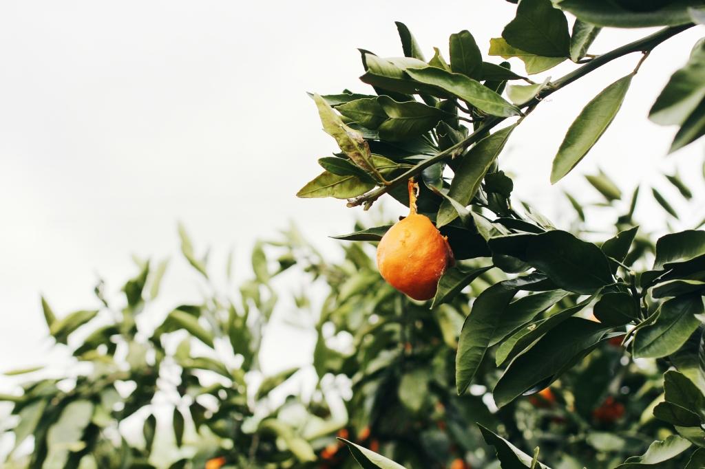 walks and wonder-analogue tangerine field jeju-013