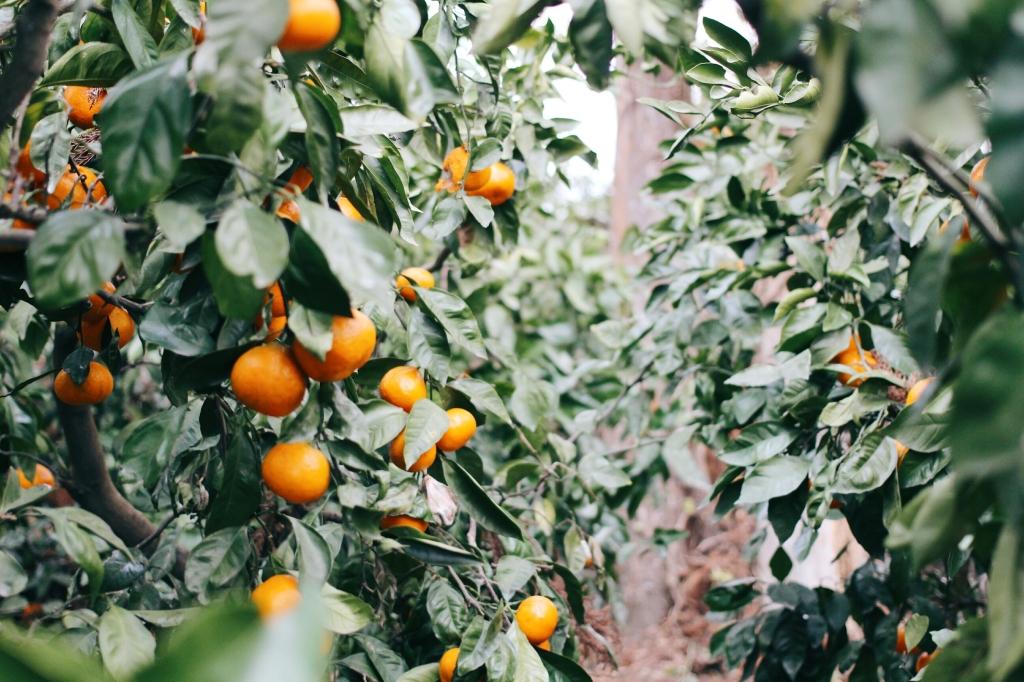 walks and wonder-analogue tangerine field jeju-014