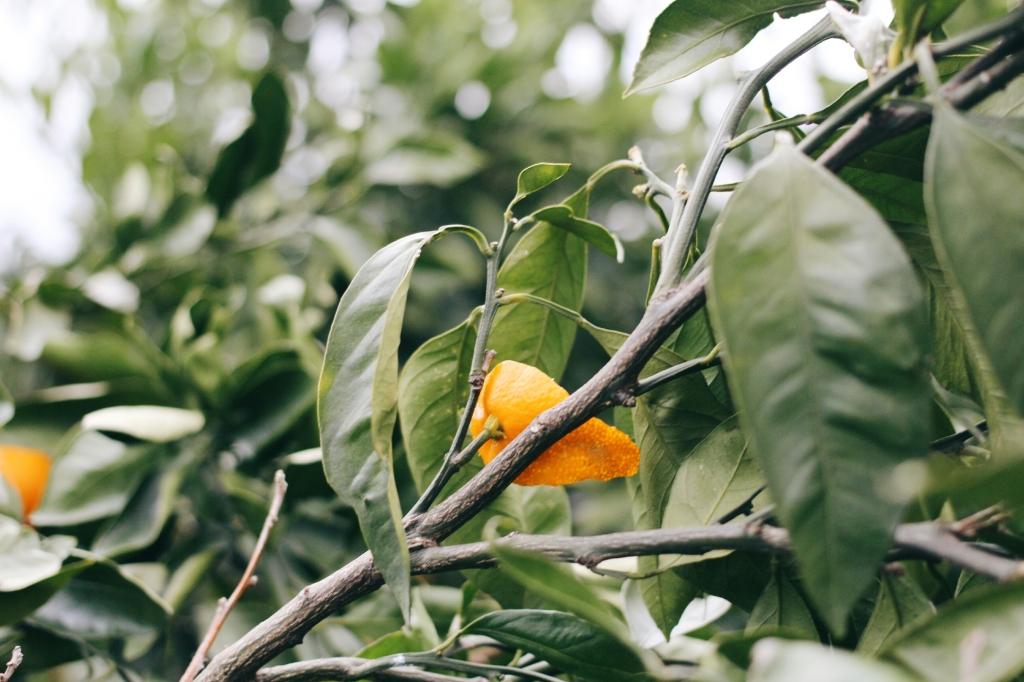 walks and wonder-analogue tangerine field jeju-015