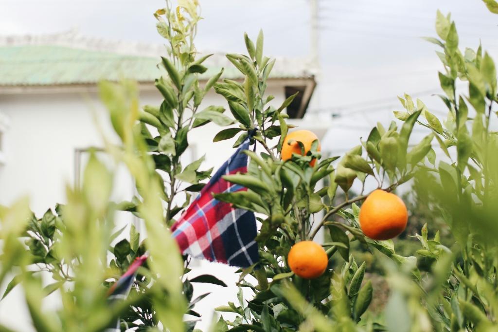 walks and wonder-analogue tangerine field jeju-016