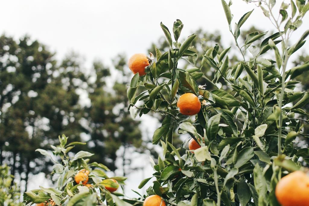 walks and wonder-analogue tangerine field jeju-017