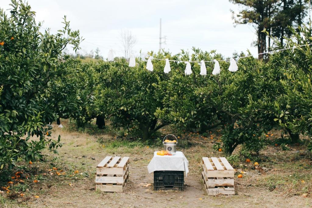 walks and wonder-analogue tangerine field jeju-020